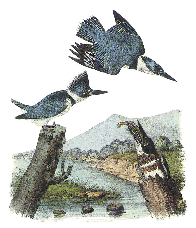 "John James Audubon, ""Belted Kingfisher"""