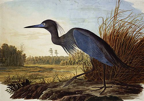 "Audubon, ""Little Blue Heron"""