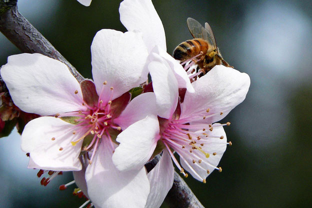 Bees assaulting and fumbling an almond blossm