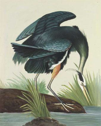 "Audubon, ""Great Blue Heron"""